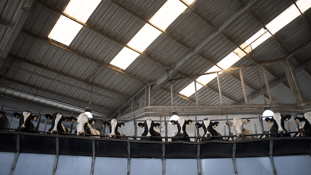 Cows In A Milking Parlor