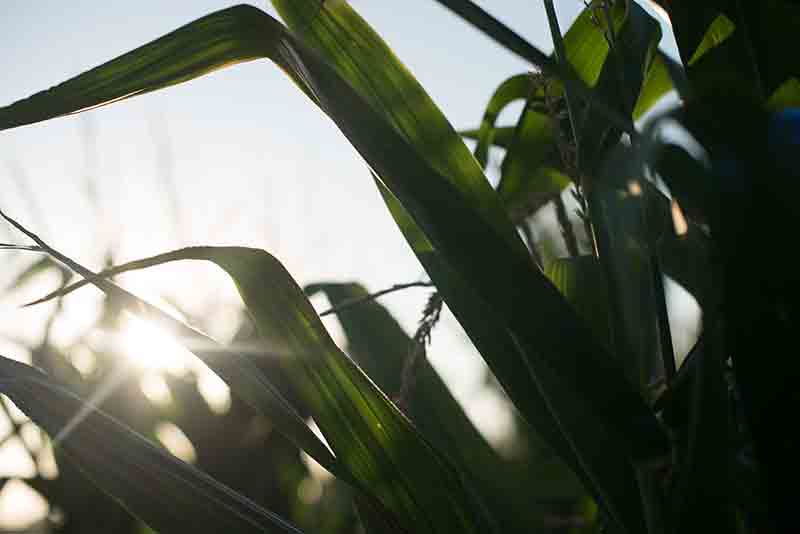 Corn Stalk Leaves At Sunset