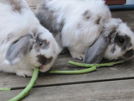 bunny, rabbit, kale